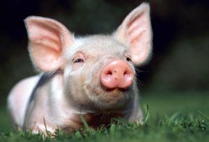 Razas-porcino
