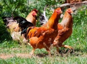 Como-se-llama-un-grupo-de-gallinas-o-pollos